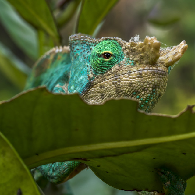 """Chameleon in rainforest of Madagascar"" stock image"