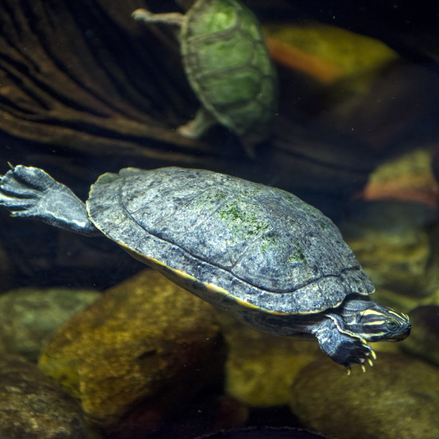 """""""Sea turtle in an aquarium"""" stock image"""