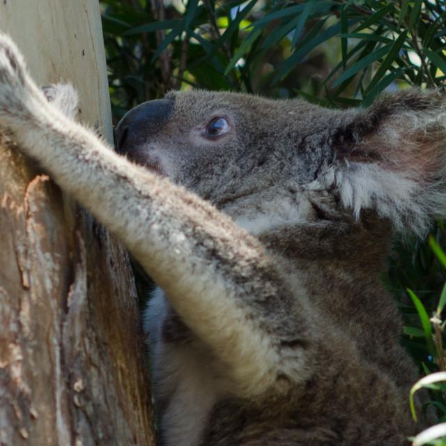 """Climbing Koala"" stock image"