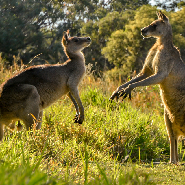 """Kangaroo friends"" stock image"