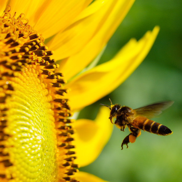 """Detail of Seeding bee with blooming sunflower"" stock image"