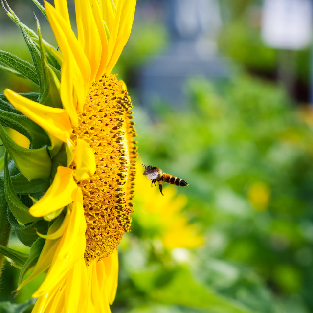 """Seeding bee with blooming sunflower"" stock image"