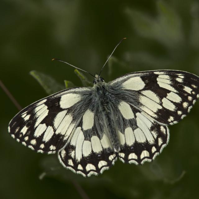 """""""Marble White ( Melonargia galathia)"""" stock image"""