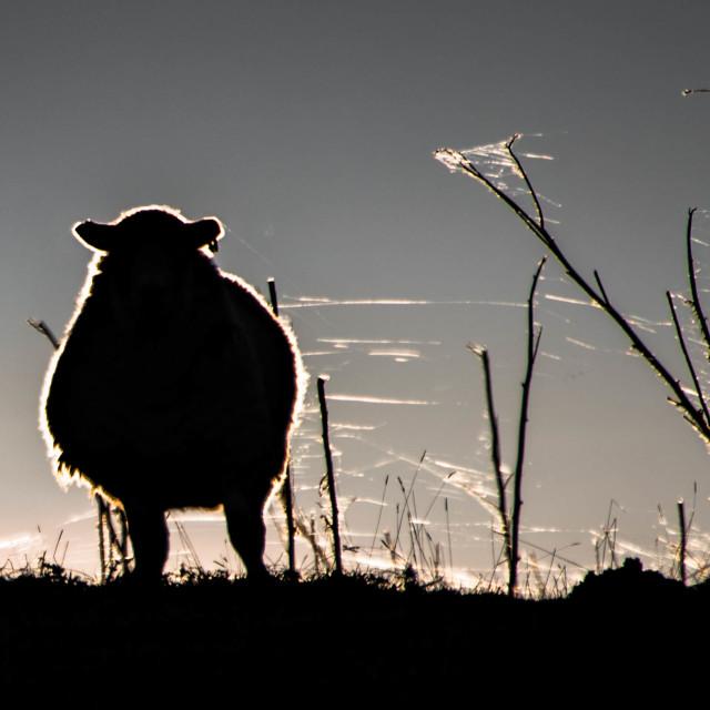 """A Sheep Caught in a Cobweb?"" stock image"