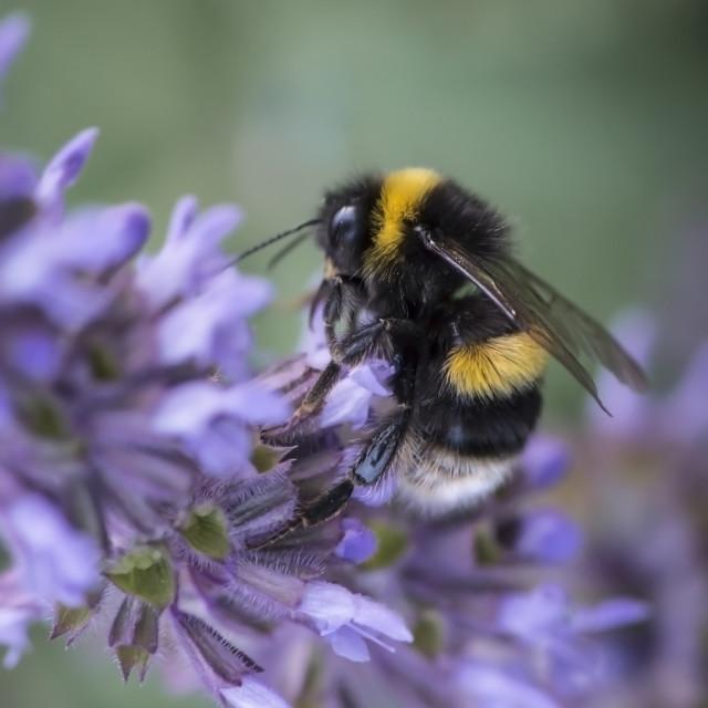 """""""Bumblebee Macro"""" stock image"""