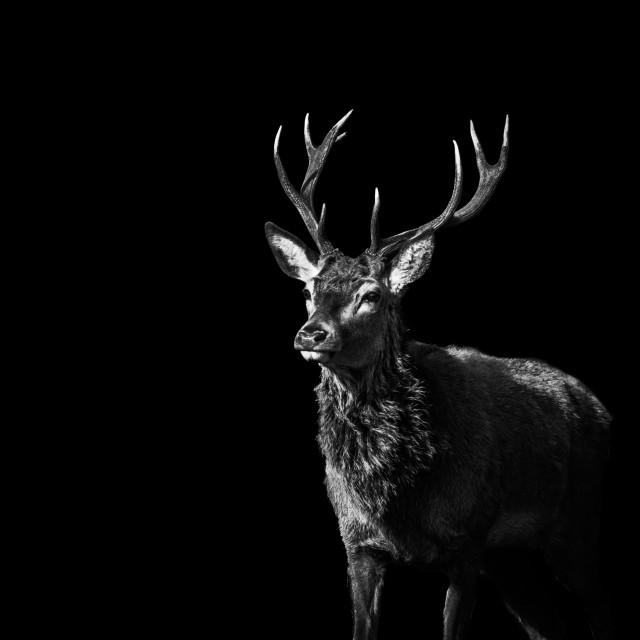 """""""Red Deer 1 - Black Series"""" stock image"""