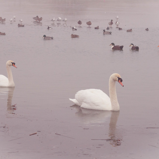 """""""Two Swans with Ducks"""" stock image"""