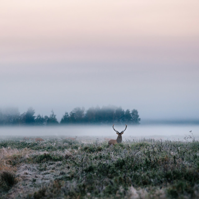 """""""Red deer with antlers on foggy field the in Belarus."""" stock image"""