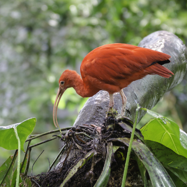 """one beutiful red ibis standing in a tree"" stock image"