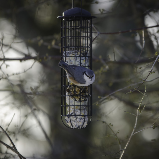 """One wild nuthatch Sit in the three"" stock image"