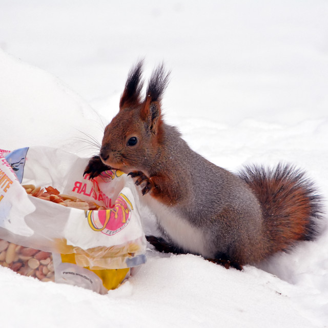 """Red Squirrel and a bag of peanuts"" stock image"