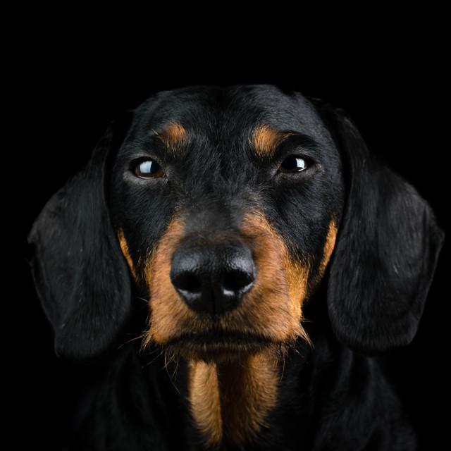 """Studio portrait dachshund front"" stock image"