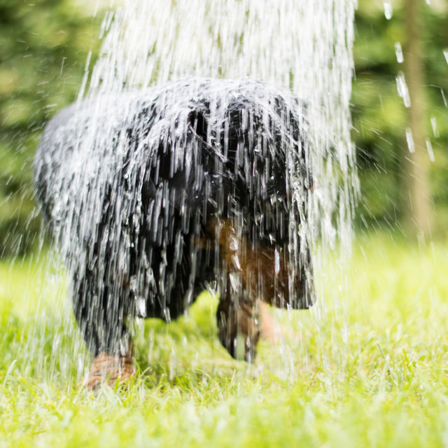"""""""Dachshund shower watering can"""" stock image"""