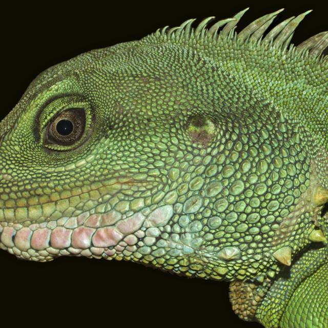 """Thai Water Dragon Extreme Closeup"" stock image"