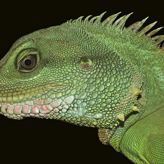 """Thai Water Dragon Closeup"" stock image"