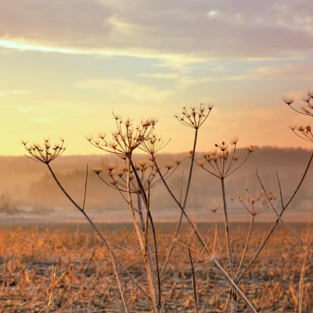 """rural flower at sunset"" stock image"
