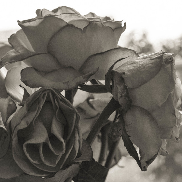 """Faded Roses in Monochrome"" stock image"