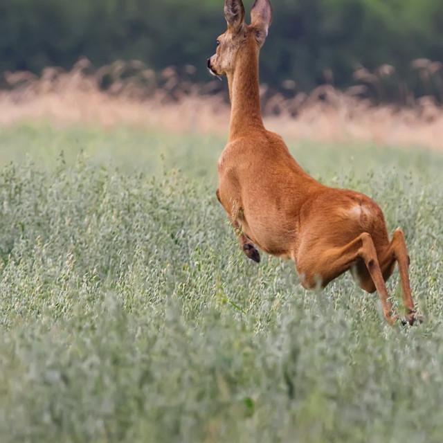 """Roe-deer on the run"" stock image"