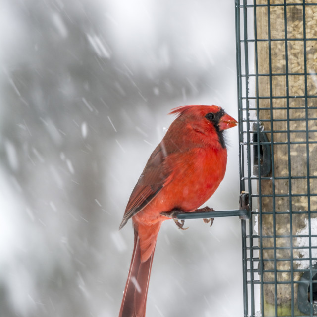 """Northern Cardinal in Winter"" stock image"