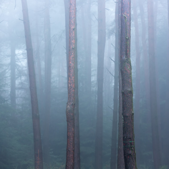 """Tall Trees"" stock image"