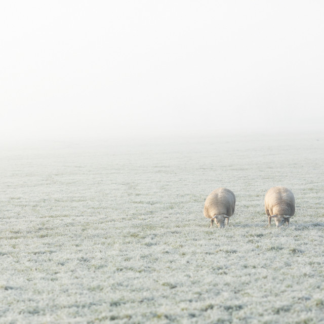 """Two of Ewe"" stock image"