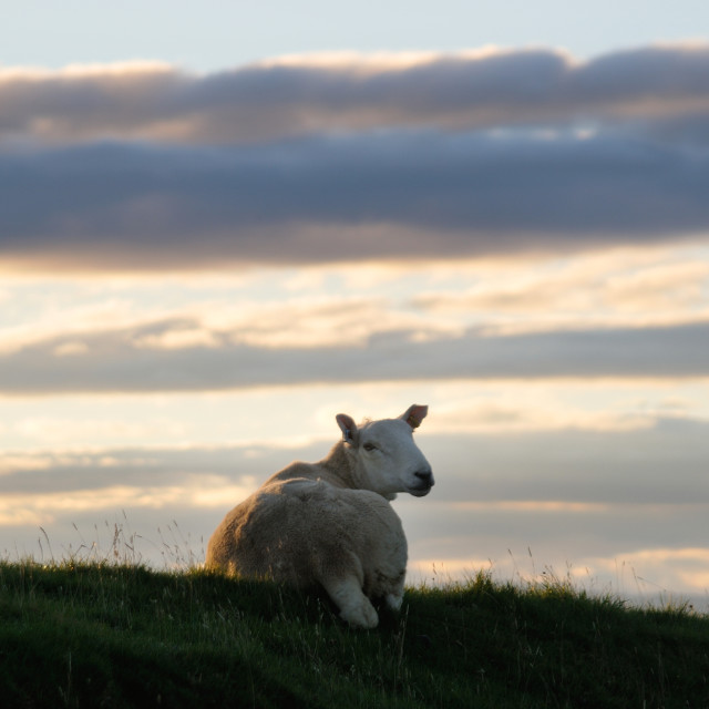 """""""Highland Sheep"""" stock image"""