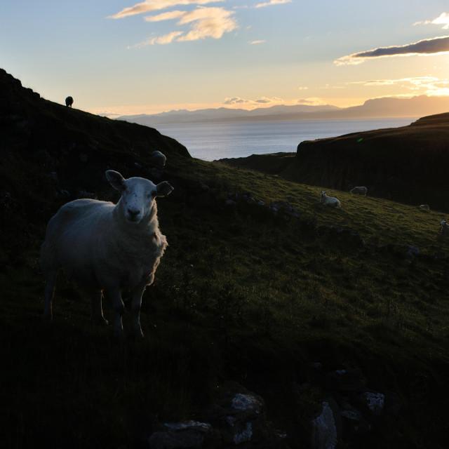 """Early Morning sheep - Skye"" stock image"