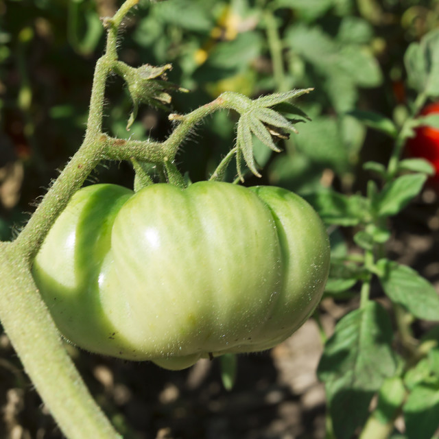 """""""Ripe and unripe tomatoes on branches"""" stock image"""