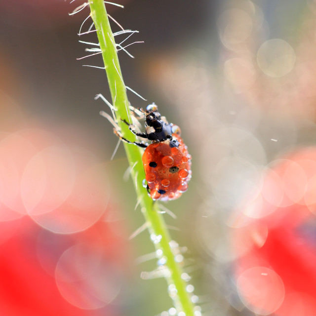 """A small ladybug climbs the beanstalk to the top"" stock image"