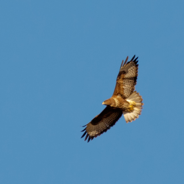 """Common buzzard"" stock image"
