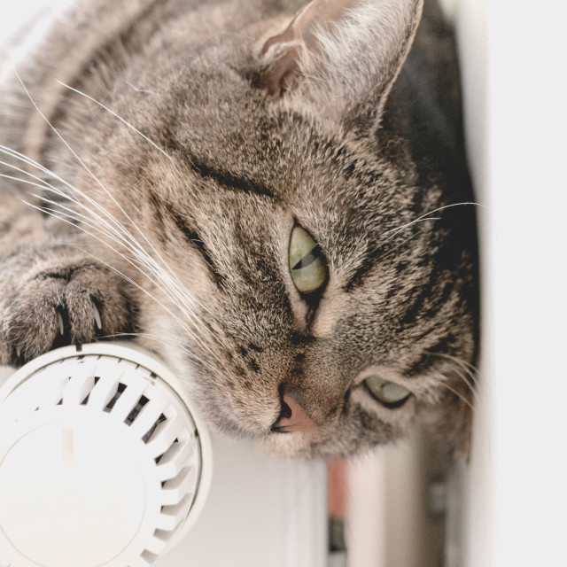 """""""Sweet independent grey cat lies on warm radiator in bright room."""" stock image"""