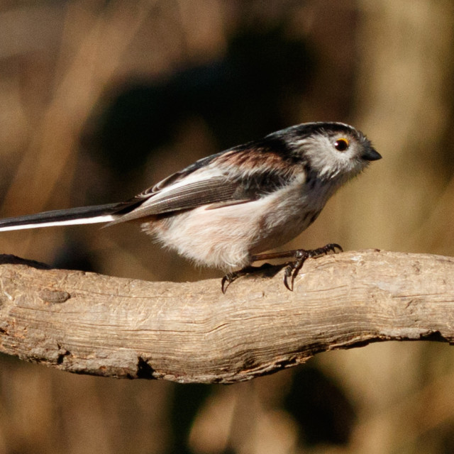 """Long-tailed tit"" stock image"