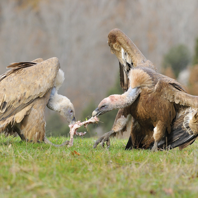 """Two griffon vultures fighting over carrion. in the meadow."" stock image"
