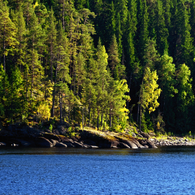 """""""Pine-tree Forest on a Lake Shore"""" stock image"""