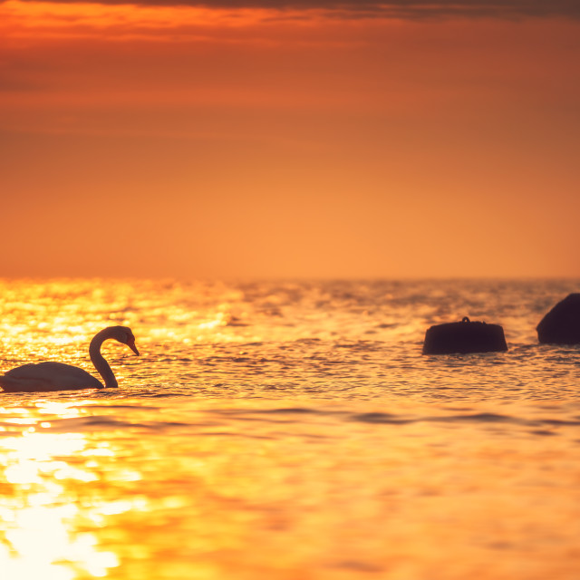 """White swan in the sea with blue dark background on the sunrise."" stock image"