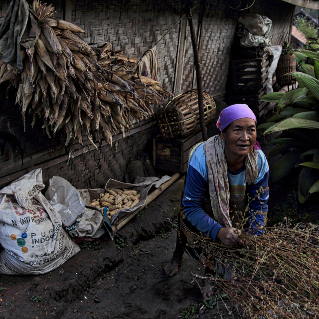 """""""Local tenggerese lady doing her chores"""" stock image"""