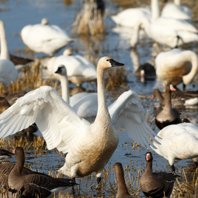 """Tundra swan flapping its wings"" stock image"