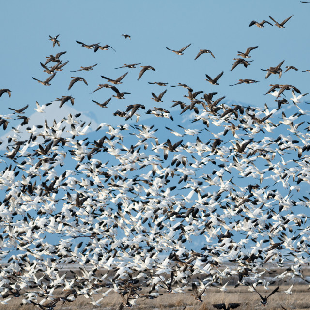 """Snow geese migration"" stock image"