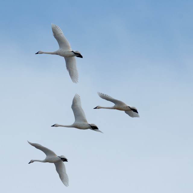 """Tundra swan migration"" stock image"