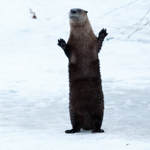 """River otter standing and waving on the ice"" stock image"
