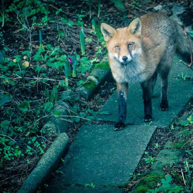 """""""Foxy Visitor"""" stock image"""