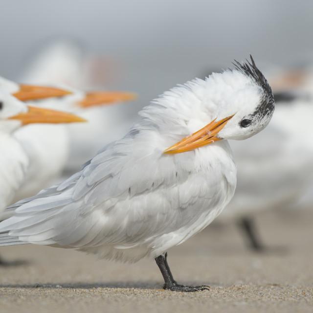 """Preening Royal Tern"" stock image"