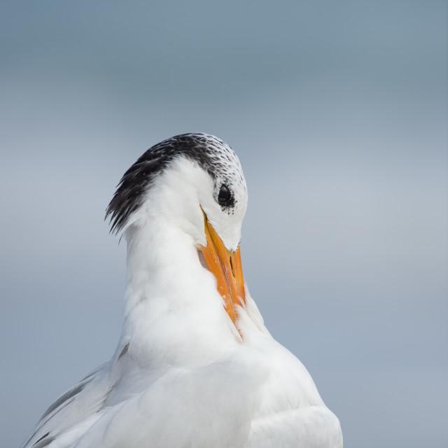 """Royal Tern Preening 3"" stock image"