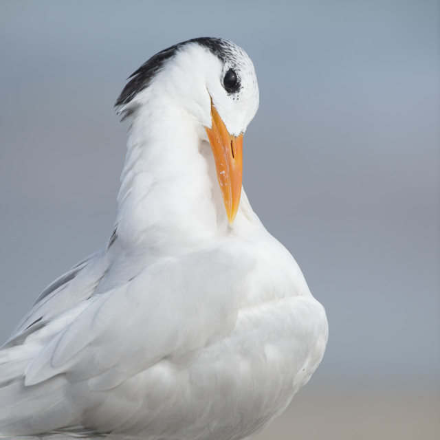 """Royal Tern Preening 2"" stock image"