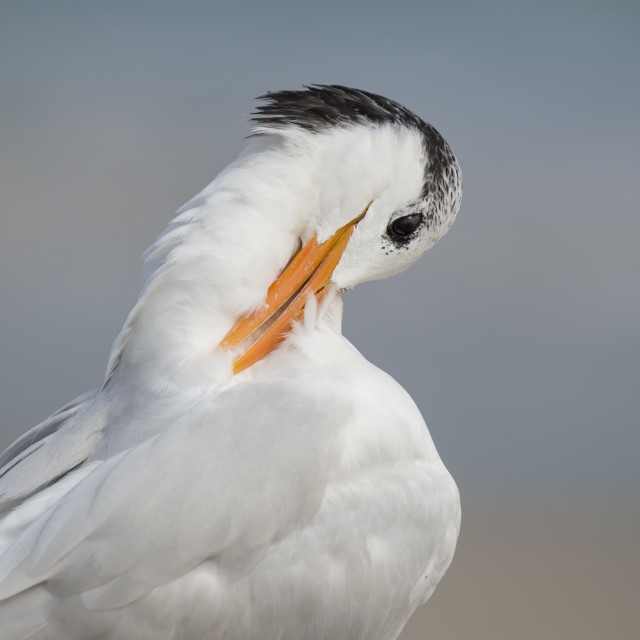 """Royal Tern Preening 4"" stock image"