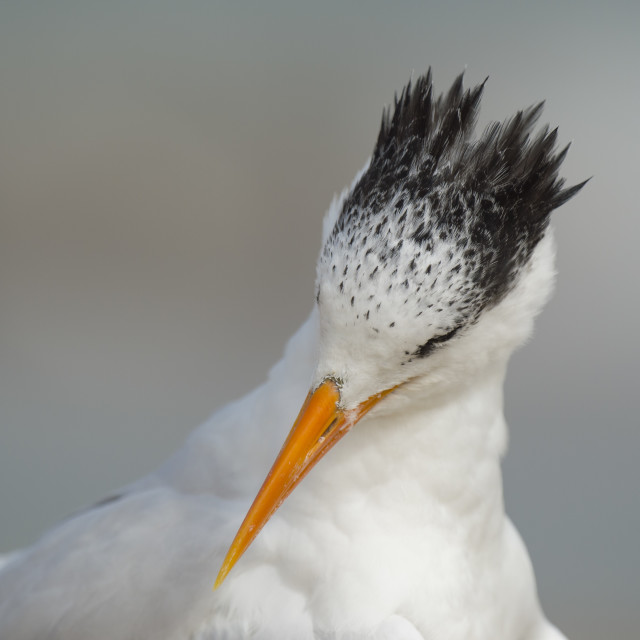 """Royal Tern Preening"" stock image"