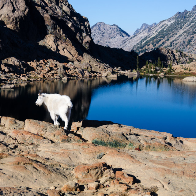"""Mountain goat on a rock overlooking a clear blue lake"" stock image"