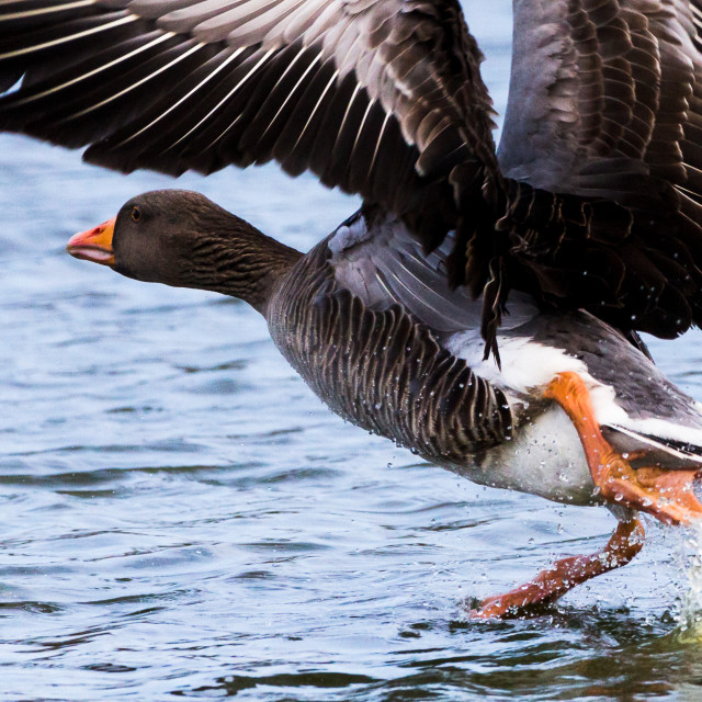 """Take off time for the Greylag"" stock image"
