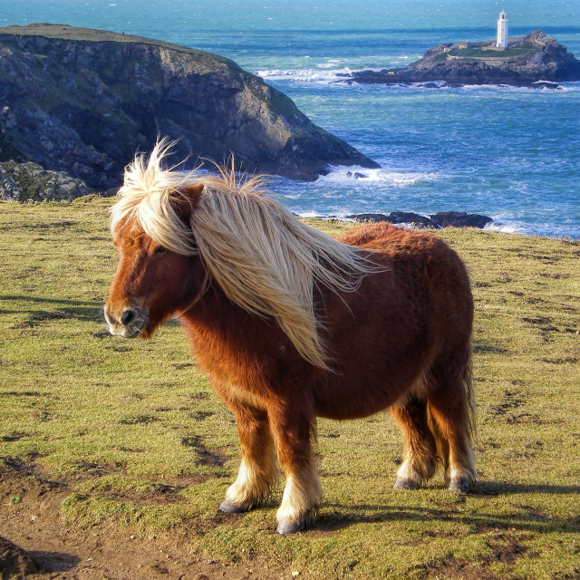 """Pony and Godrevy Lighthouse"" stock image"