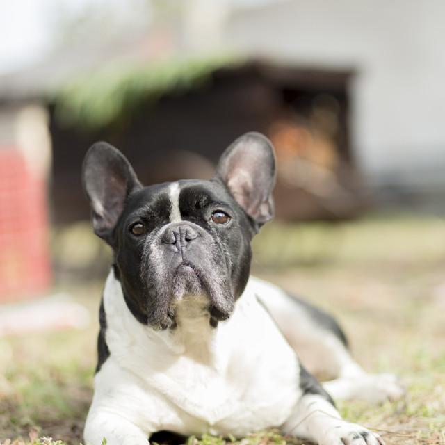 """French bulldog portrait"" stock image"